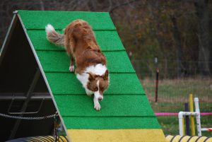Red and white border collie descends the A-frame while competing in dog agility.